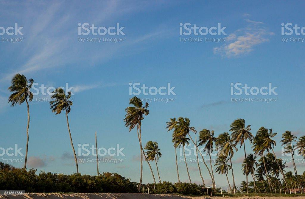 Coconut trees of the Third Beach Arembe, Camaçari BA stock photo
