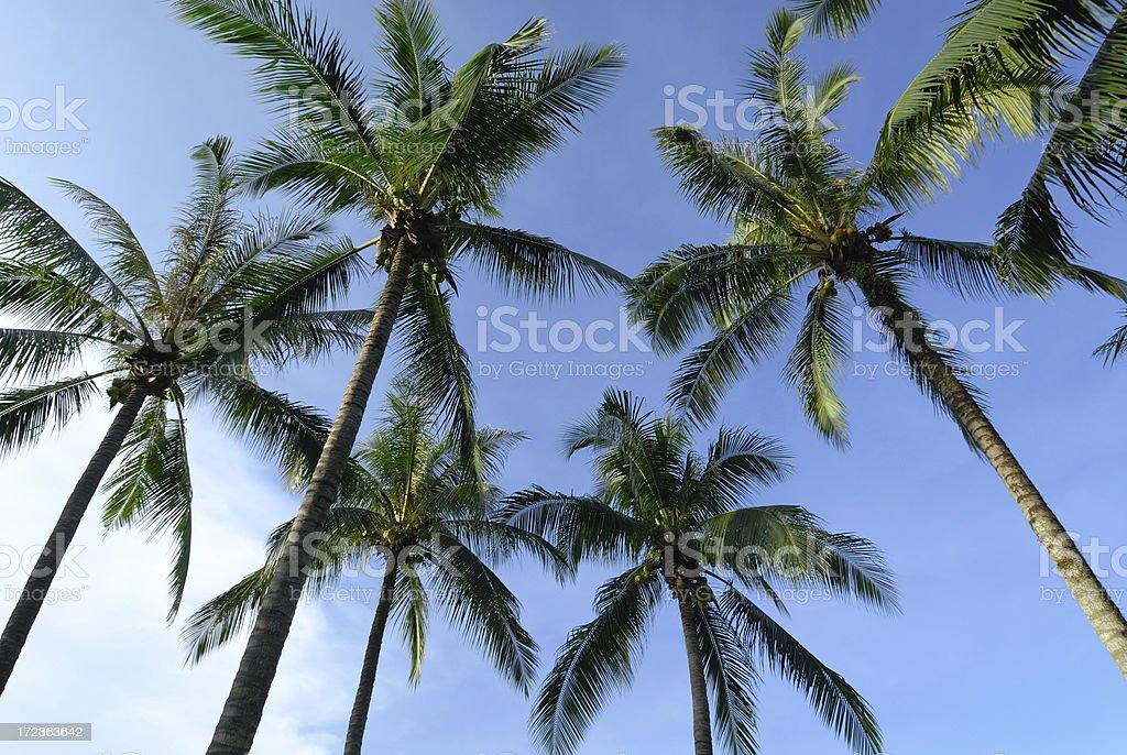 Coconut Trees royalty-free stock photo