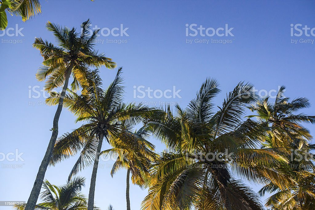 Coconut trees royalty-free stock photo