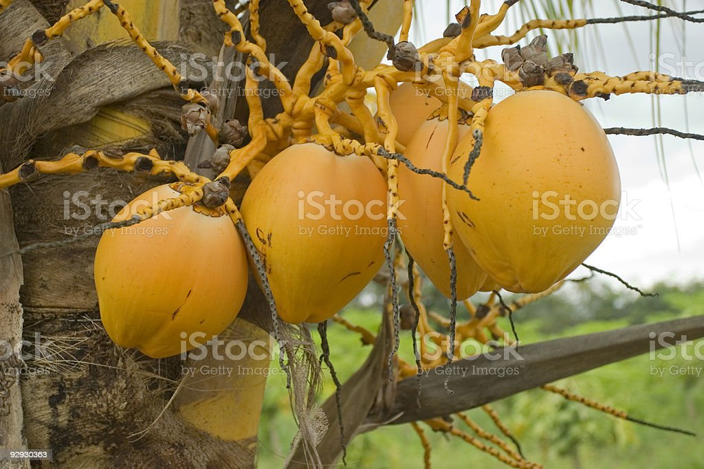 Coconuts Close up royalty-free stock photo
