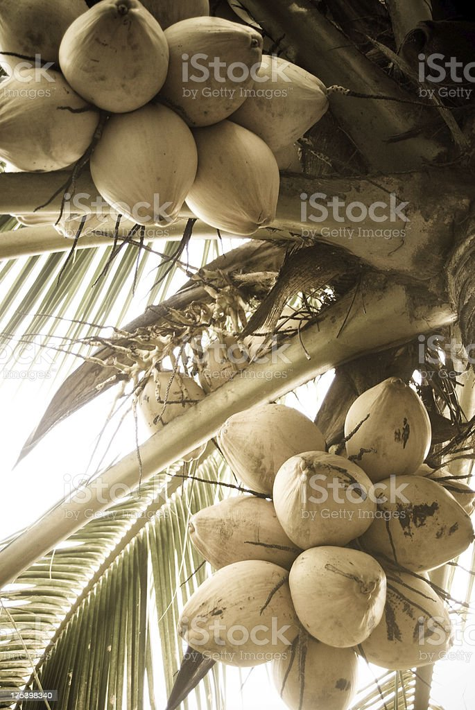 coconuts in tree stock photo