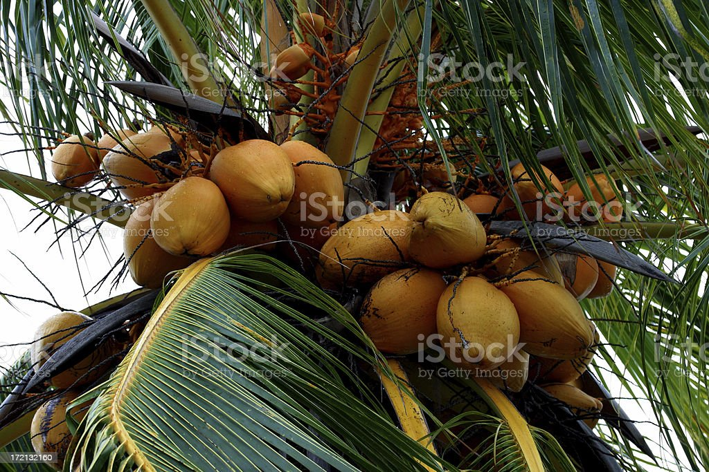 Coconuts on Palm Tree royalty-free stock photo