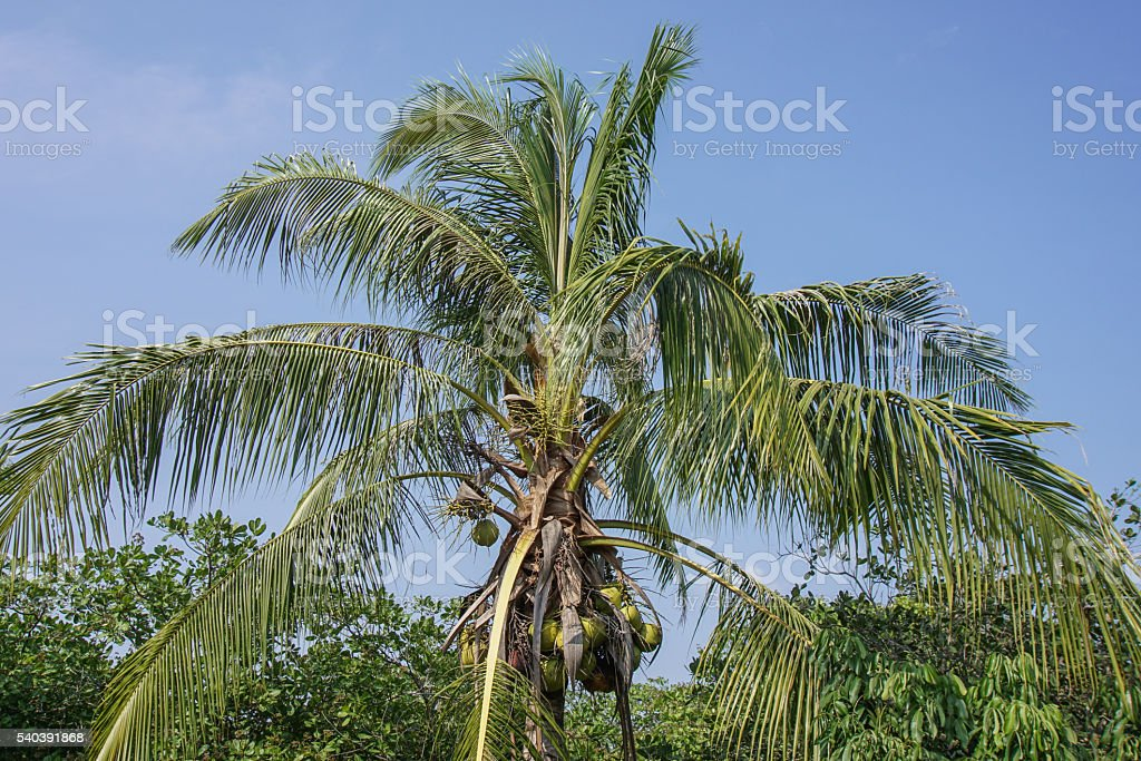 Coconuts on the palm. stock photo