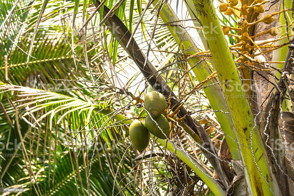 Coconuts on the tree stock photo