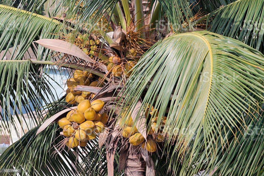 Coconuts on tree stock photo