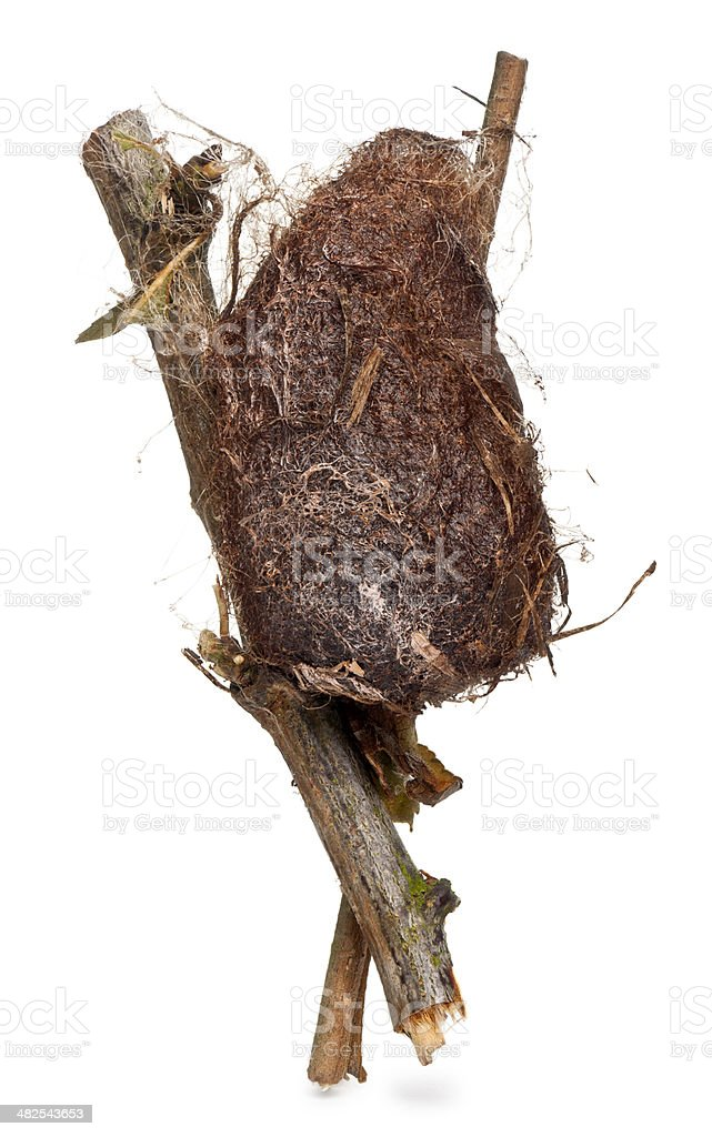 Cocoon of a Giant peacock moth royalty-free stock photo