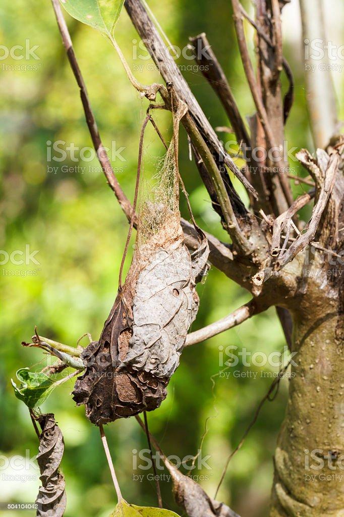 Cocoon of attacus atlas moth stock photo