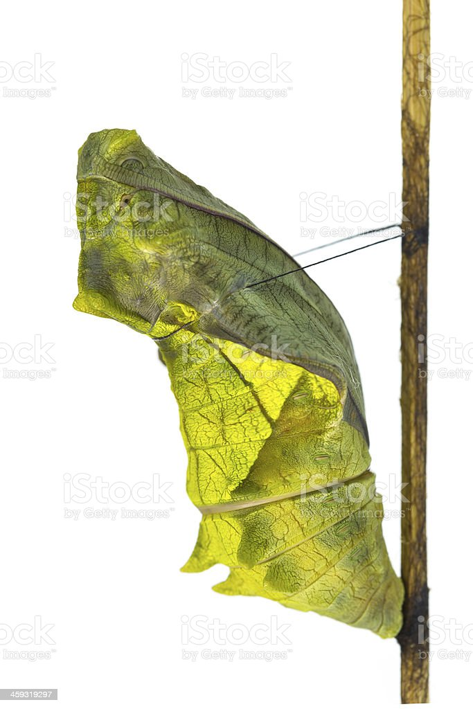 Cocoon of golden birdwing butterfly stock photo