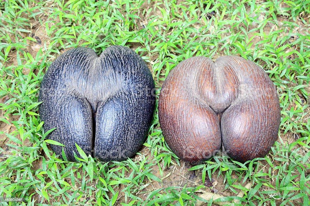 Cocos de Mer stock photo