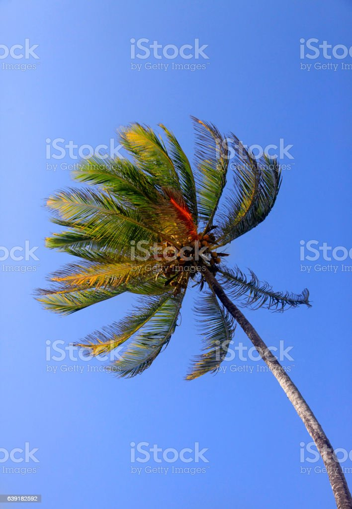 Coco-trees stock photo