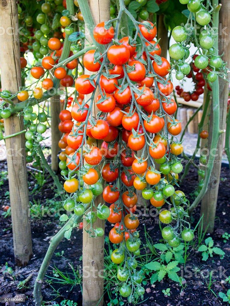 coctail tomatos stock photo