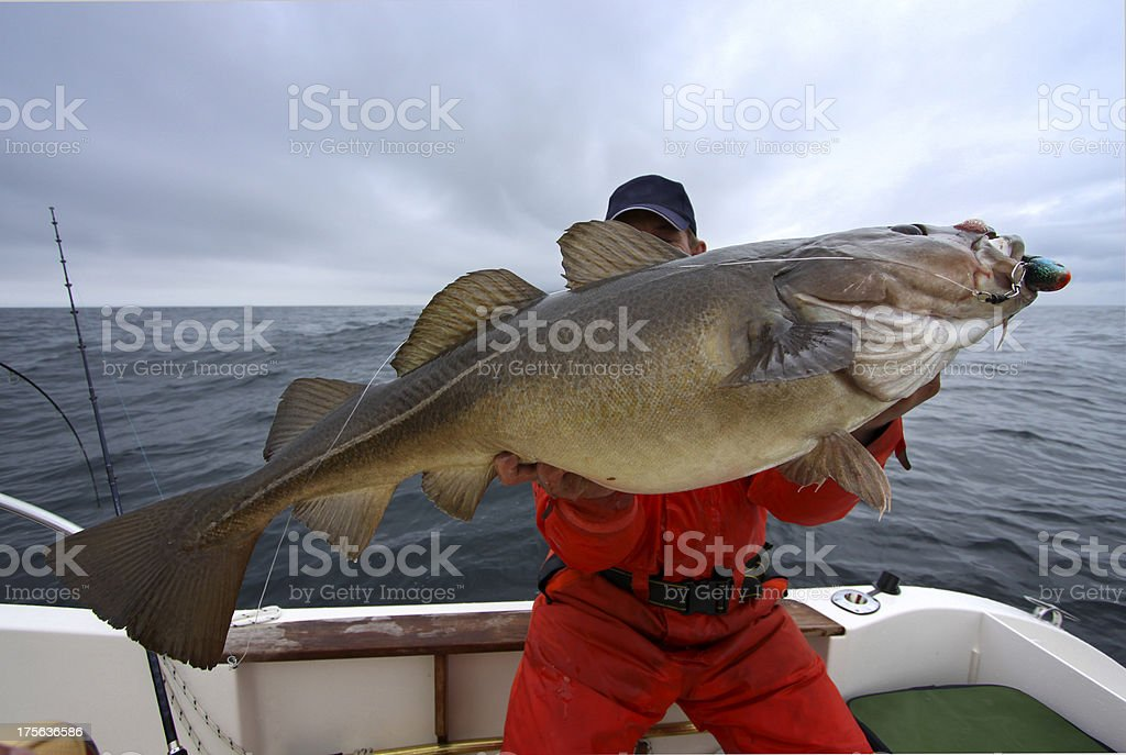 Cod action - Large one with 47 lbs stock photo