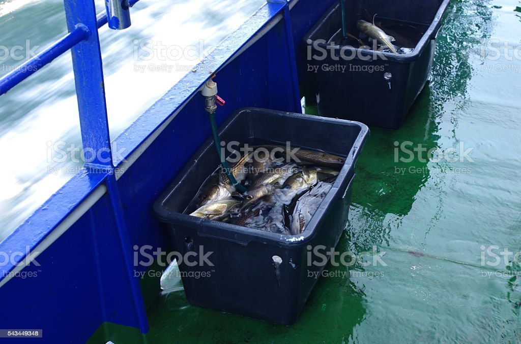 cod fishes stock photo