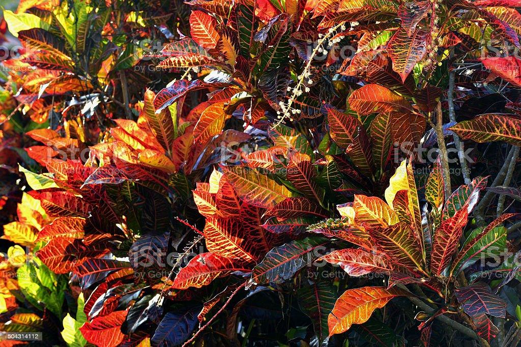 Codiaeum variegatum stock photo