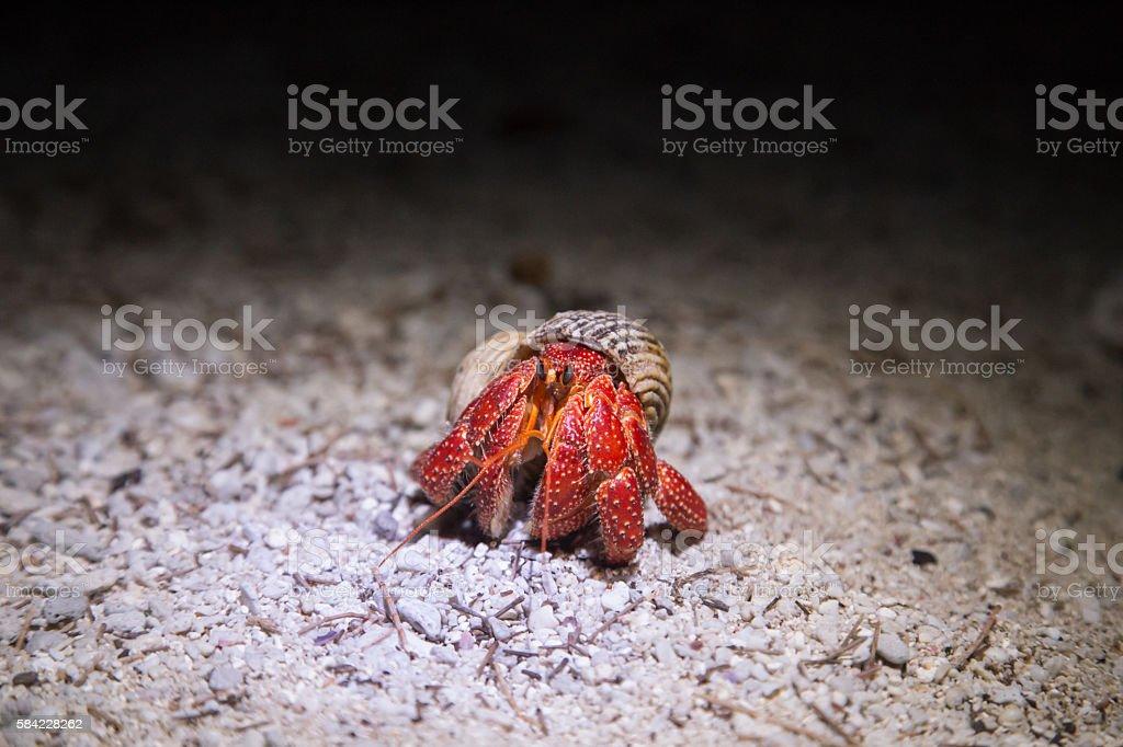 Coenobita perlatus - Strawberry Hermit Crab stock photo