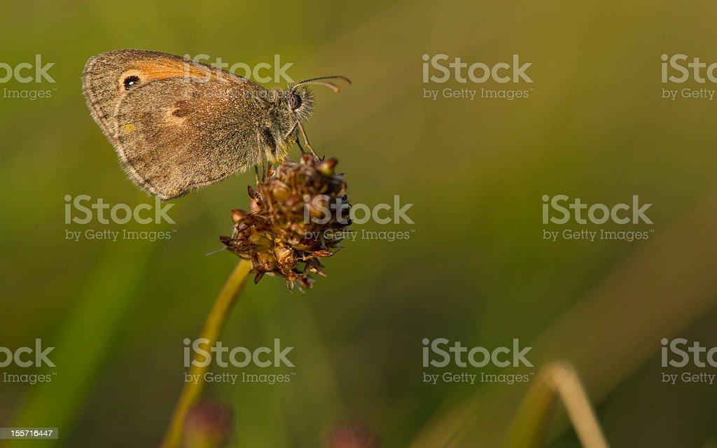 Coenonympha pamphilus stock photo
