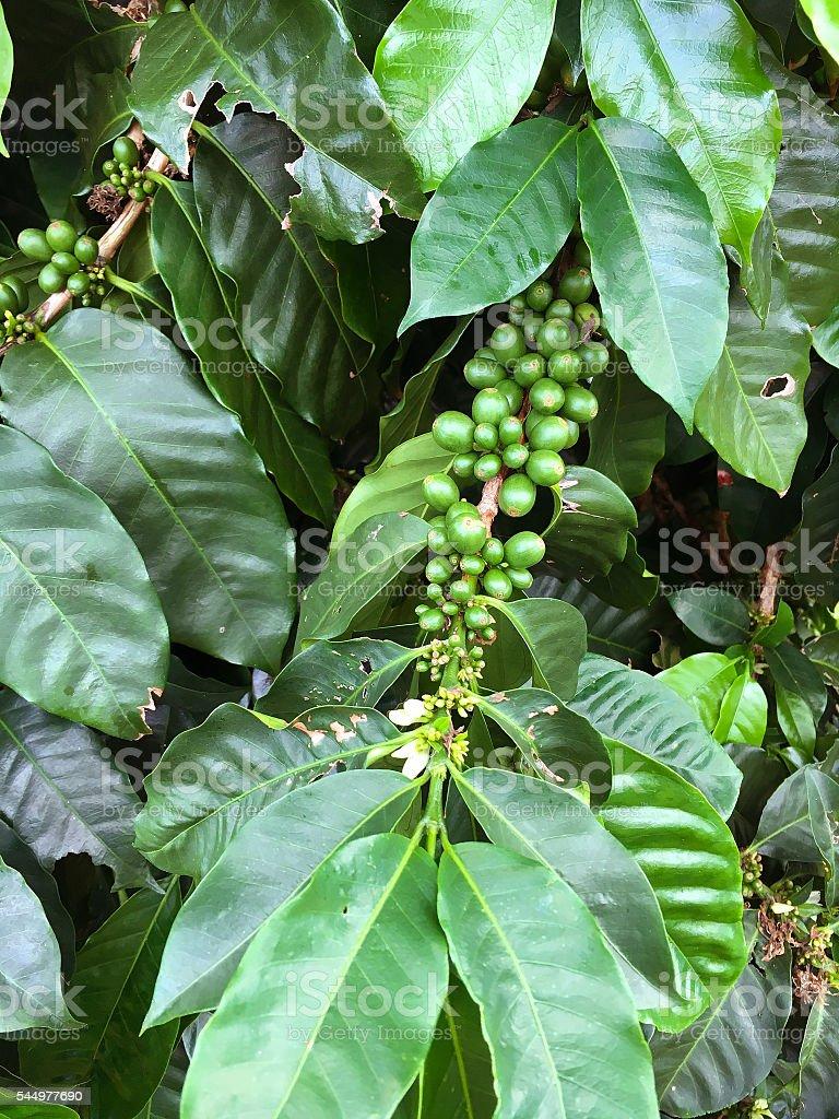 Coffe bush stock photo