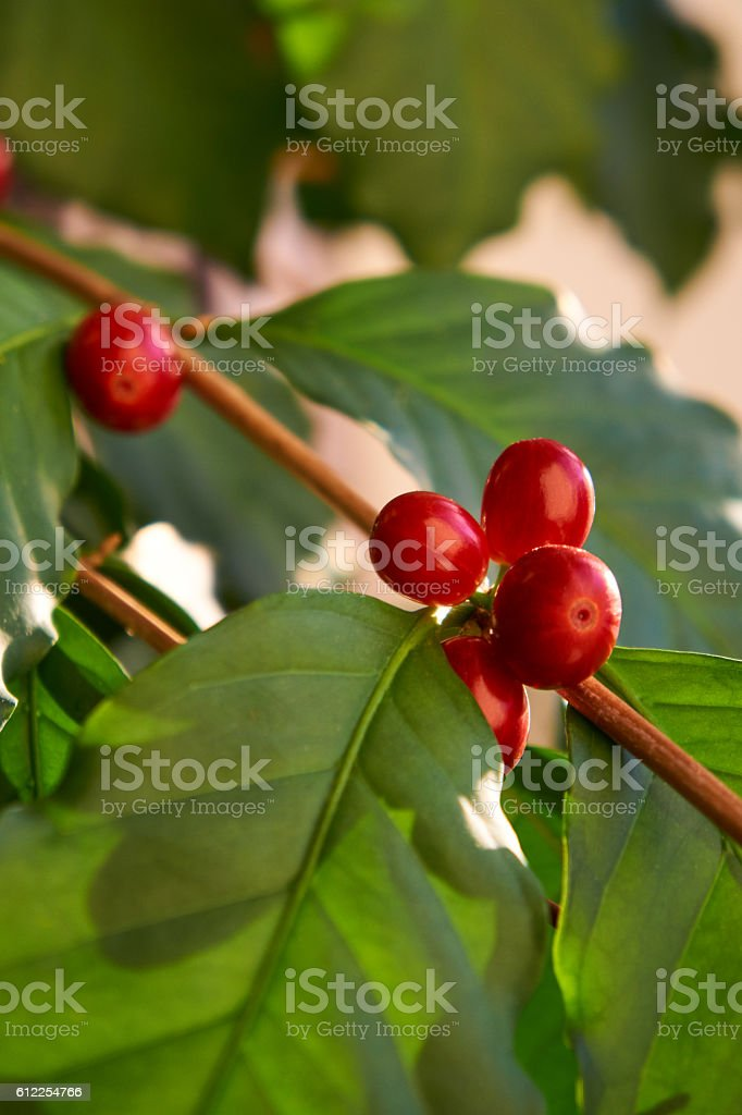 Coffee bean plant close-up stock photo