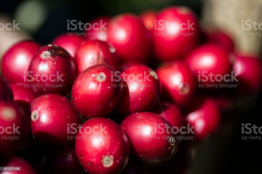 Coffee Beans, Costa Rica stock photo