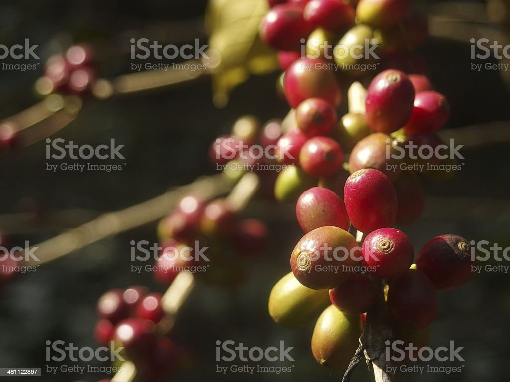 Coffee Beans growing on coffee plant in cool hill station stock photo