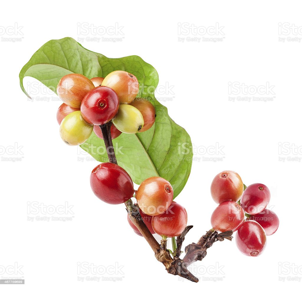 Coffee beans on a branch of tree stock photo