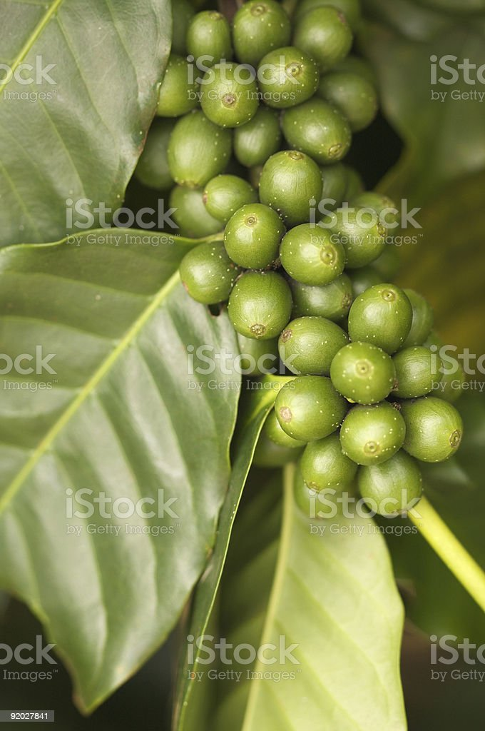 Coffee Beans on the Branch royalty-free stock photo