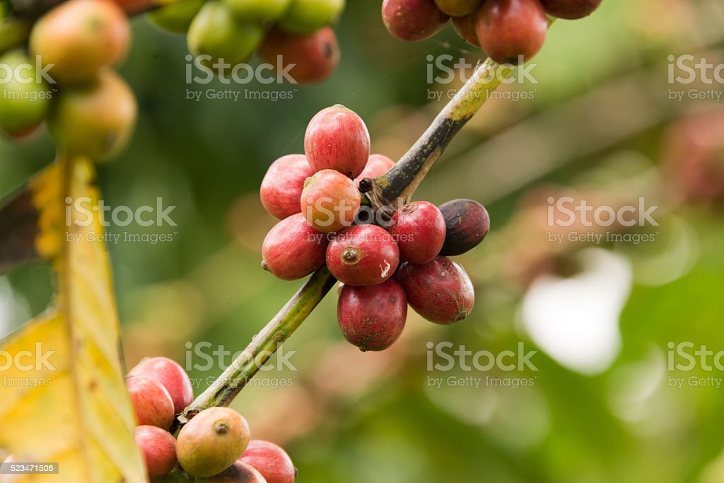 coffee beans on twig stock photo