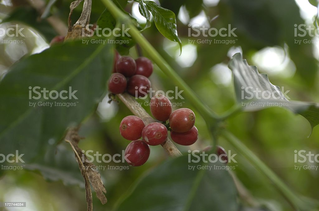 Coffee Beans Ready for Picking royalty-free stock photo