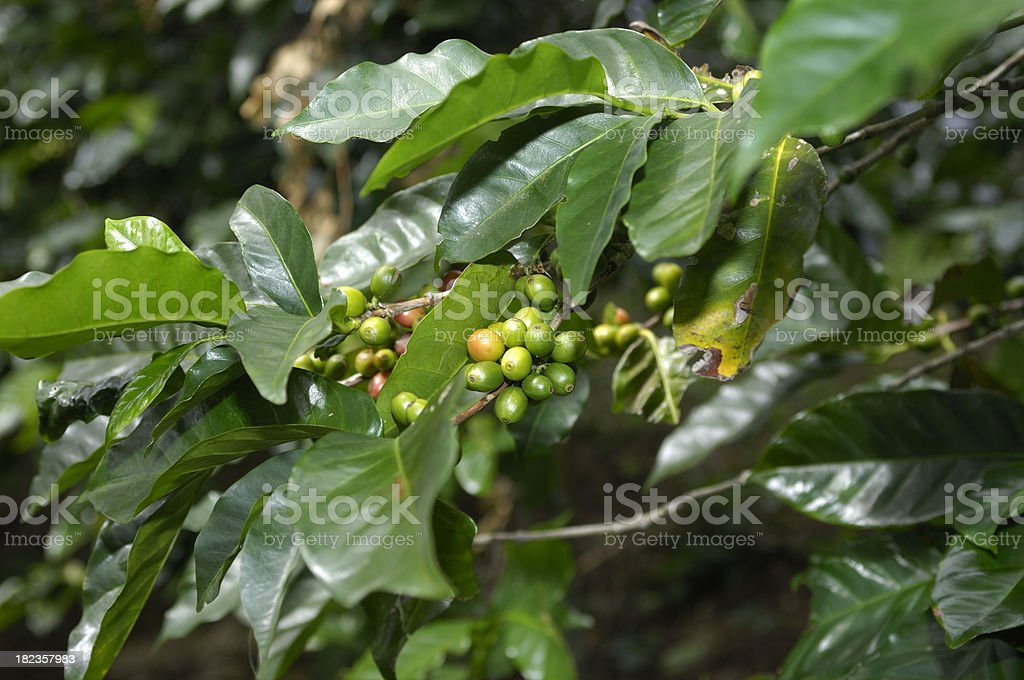 Coffee Beans Ripening on Tree royalty-free stock photo