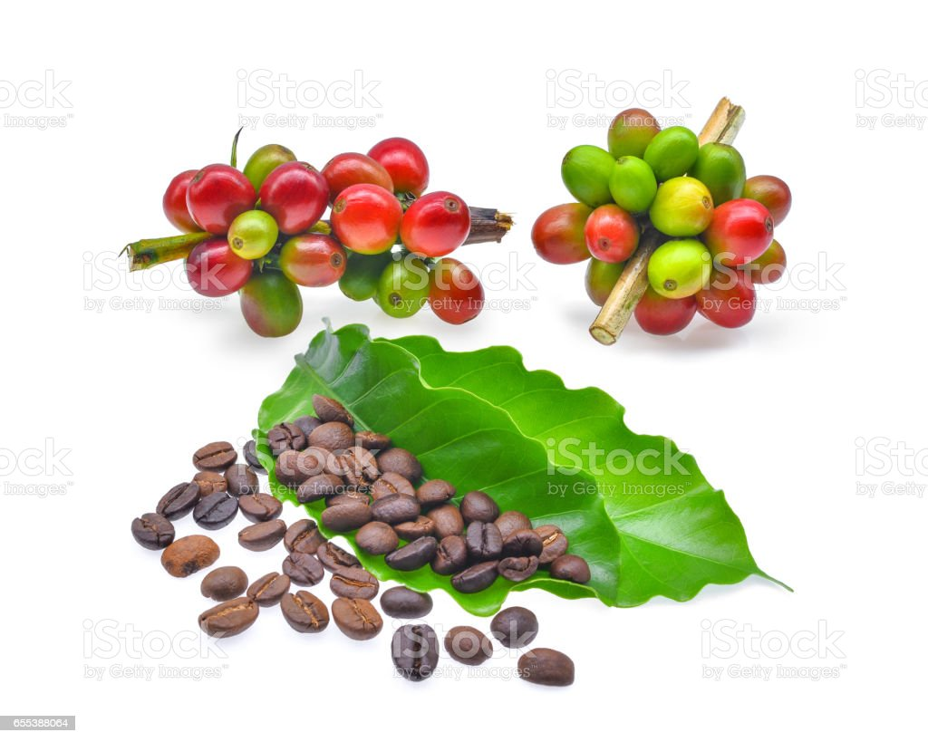 coffee beans with green coffee leaves isolated on white background stock photo