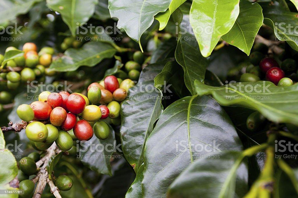 Coffee berries stock photo