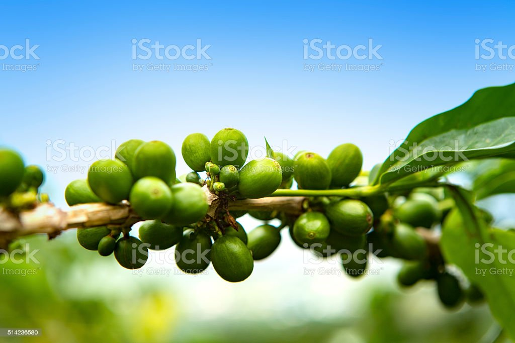 Coffee Cherries Growing on a Branch stock photo