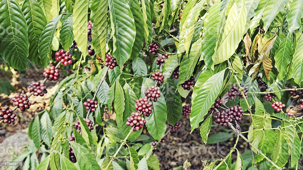 Coffee crops growing in plantation in Kerala,India stock photo