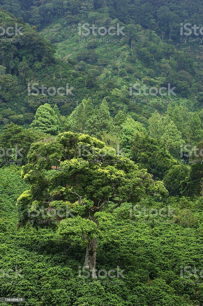 Coffee farm royalty-free stock photo