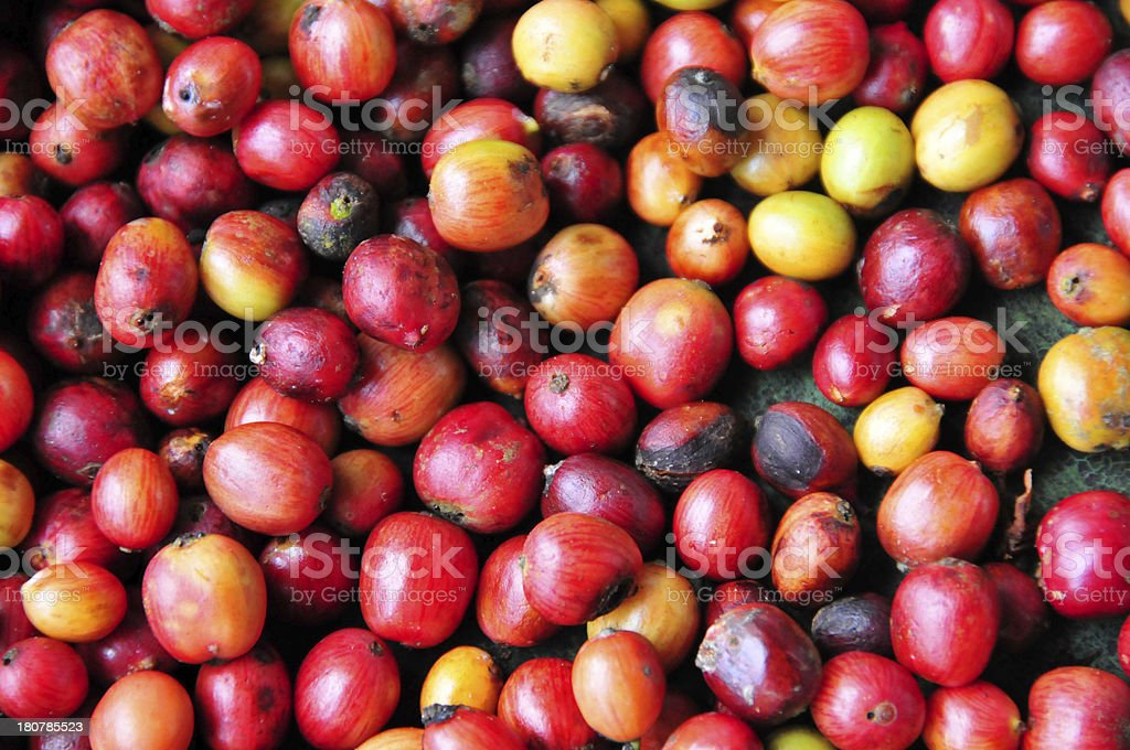 coffee fruits stock photo