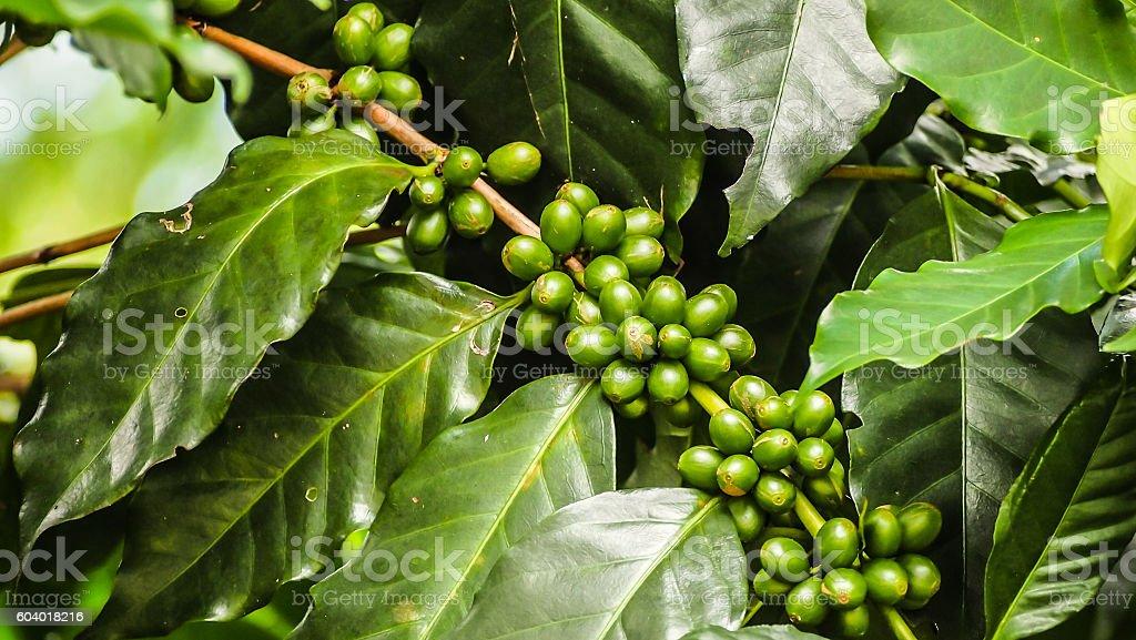 Coffee green stock photo