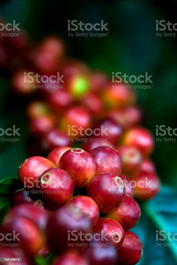 Coffee Growing stock photo