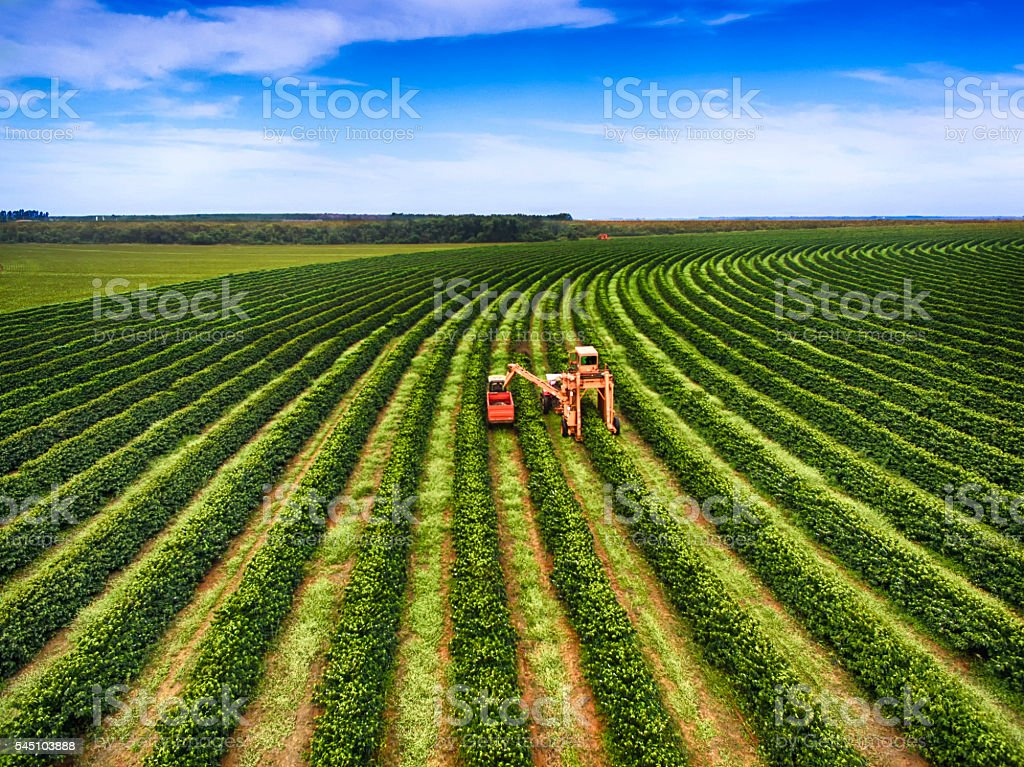 Coffee Harvesting stock photo