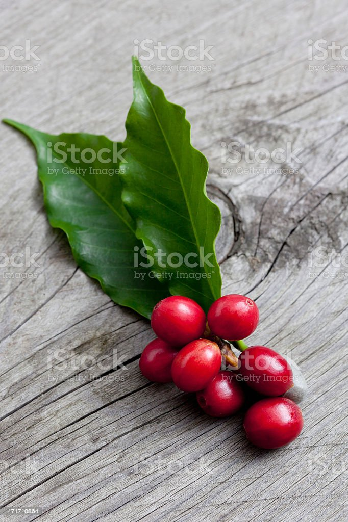 Coffee plant, Coffea arabica, leaves and fruits on wood stock photo