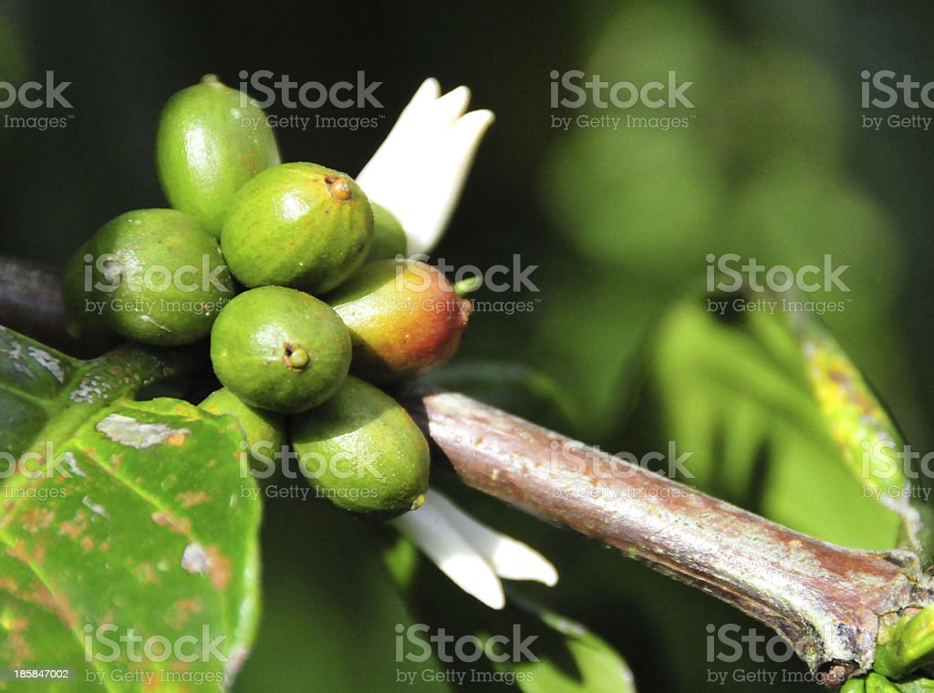 coffee plant - grains of the arabica variety stock photo