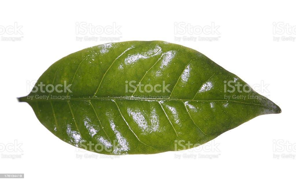 Coffee Plant Leaf stock photo