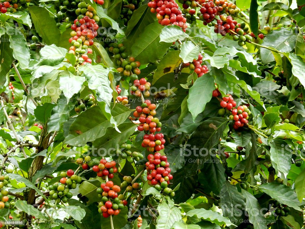 Coffee Plant stock photo