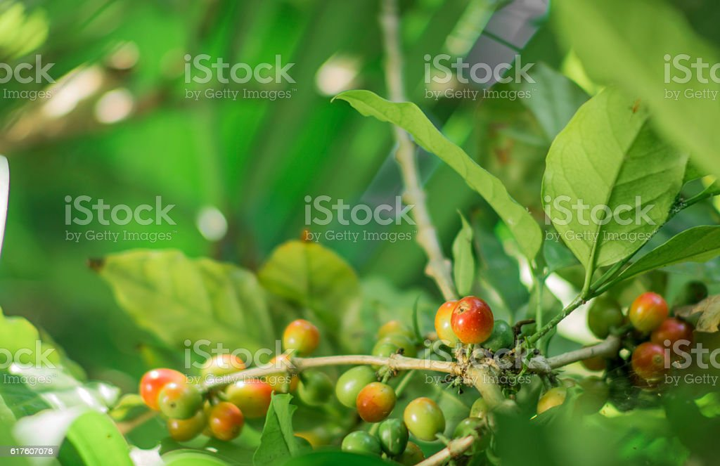Coffee plant with ripe grains stock photo