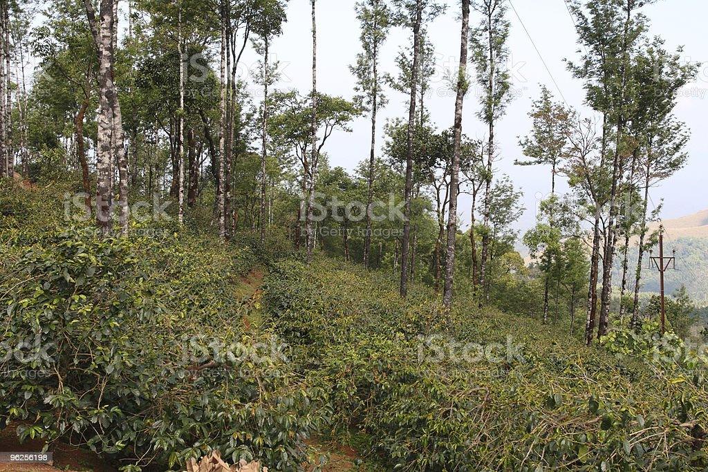 Coffee plantation in Karnataka state, India stock photo