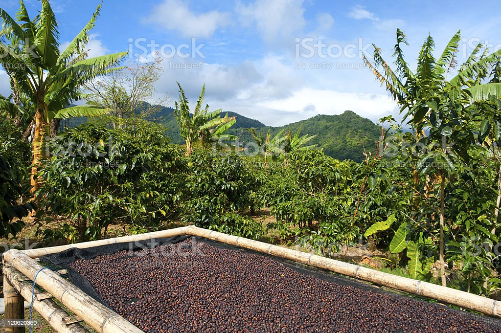 Coffee plantation in Panama, Central America. stock photo