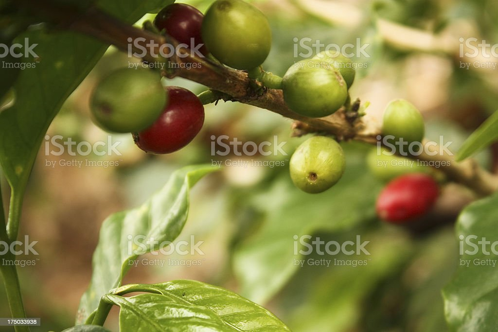 coffee plantation in the Andean valleys royalty-free stock photo