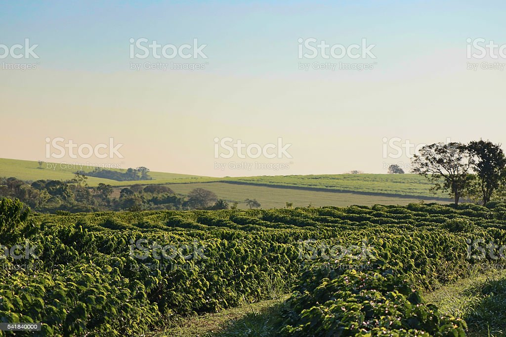 Coffee plantation in the morning landscape stock photo
