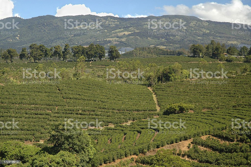 Coffee plantation patterns royalty-free stock photo