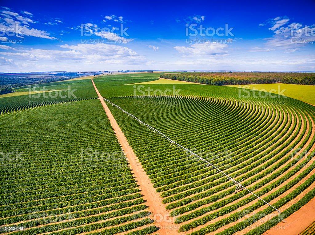 Coffee Plantation stock photo