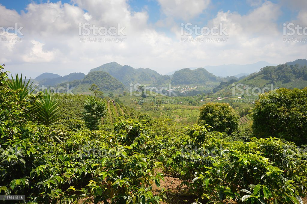 Coffee plantations in the highlands of western Honduras stock photo